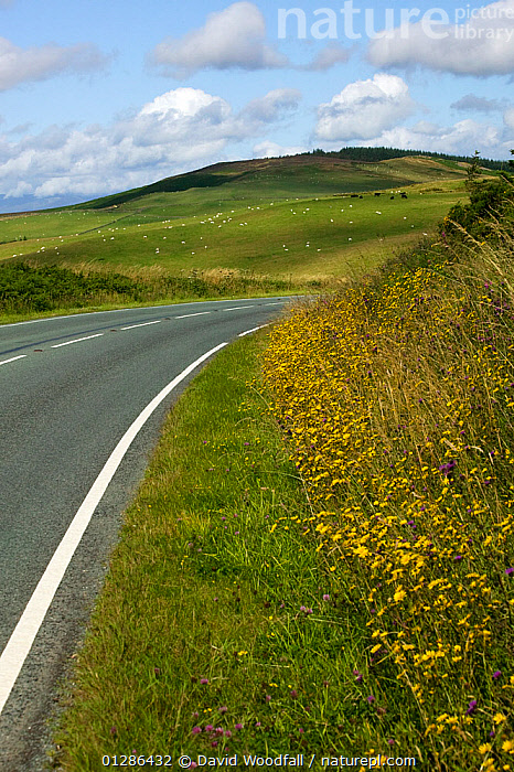 Roadside verge with wild flowers (Hawkweed sp) North Wales, August 2009  ,  EUROPE,FARMLAND,FLOWERS,HILLSIDES,LANDSCAPES,ROADS,SUNNY,UK,VERGES,VERTICAL,WILD FLOWERS, United Kingdom  ,  David Woodfall