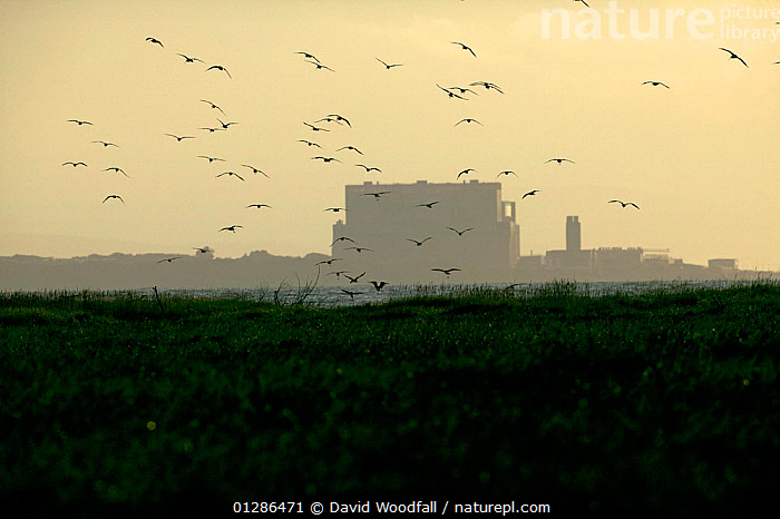 Curlews (Numenius arquata) flying into roost with Hinkley point,  Nuclear power station in background, Bridgewater Bay NNR, Somerset, England, August 2009  ,  ALNDSCAPE,BEHAVIOUR,BIRDS,BUILDINGS,CURLEWS,DUSK,ENGLAND,ENVIRONMENTAL,FLYING,NUCLEAR,POWER,POWER STATION,RESERVE,ROOSTING,SOMERSET,UK,URBAN,VERTEBRATES,WADERS,Europe, United Kingdom,Plovers  ,  David Woodfall