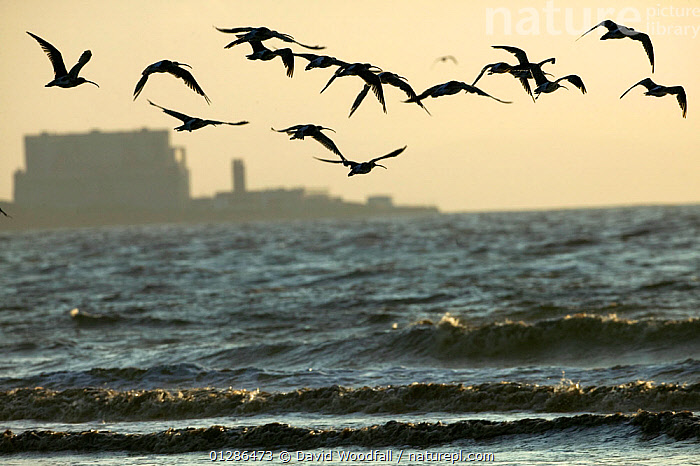 Curlews (Numenius arquata) flying into roost with Hinkley point,  Nuclear power station in background, Bridgewater Bay NNR, Somerset, England, August 2009  ,  BEHAVIOUR,BIRDS,BUILDINGS,COASTS,CURLEWS,DUSK,ENGLAND,FLYING,POWER,SHORE,UK,URBAN,VERTEBRATES,WADERS,WATER,Europe, United Kingdom,Plovers  ,  David Woodfall