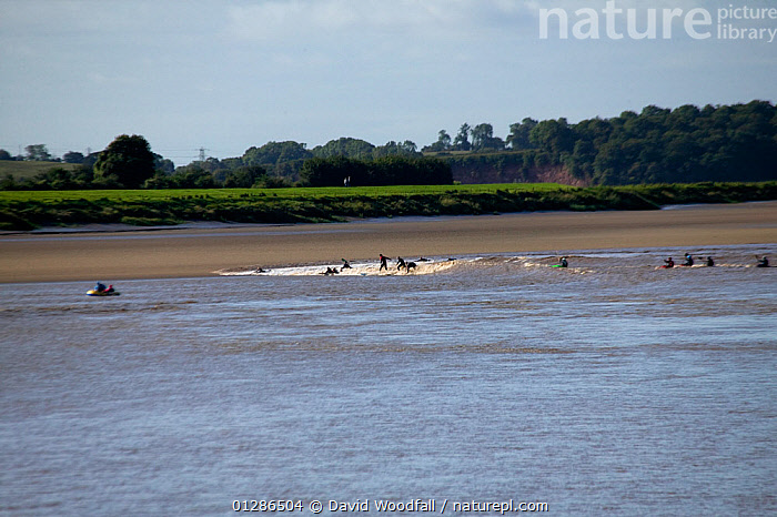 Surfers riding the Severn bore. Severn Estuary. England, August 2009  ,  ESTUARIES,EUROPE,FUN,LANDSCAPES,LEISURE,PEOPLE,RECREATION,RIVERS,SPORT,SURF,SURFING,UK,WATER,SPORTS, WATERSPORTS, United Kingdom  ,  David Woodfall