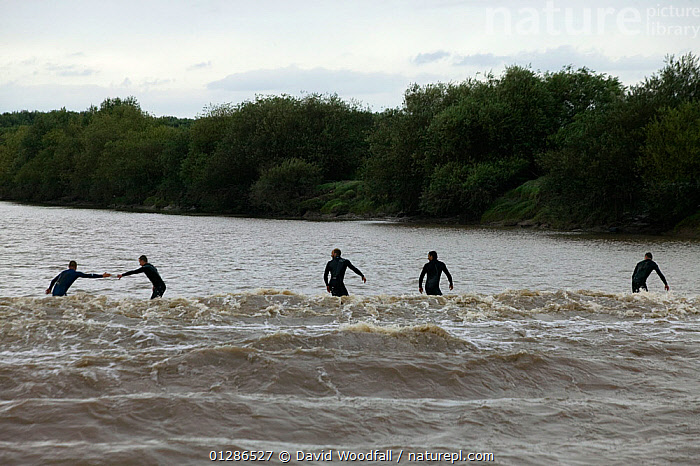 Surfers on the bore. Severn Estuary. England  ,  ANNUAL,BOATS,EUROPE,EVENTS,LANDSCAPES,LEISURE,PEOPLE,RIVERS,SPECTACLES,SPORT,SURFING,TIDAL,UK,WATER,WAVES,SPORTS, WATERSPORTS, United Kingdom  ,  David Woodfall
