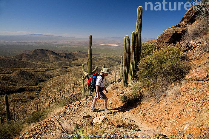 Hiker on the Wasson Peak trail in Saguaro National Park. Arizona, USA, March 2009, model released  ,  DESERTS,CACTI,DESERTS,HIKING,LANDSCAPES,MOUNTAINS,NORTH AMERICA,NP,PEOPLE,WALKING,Plants,National Park  ,  Kirkendall-Spring