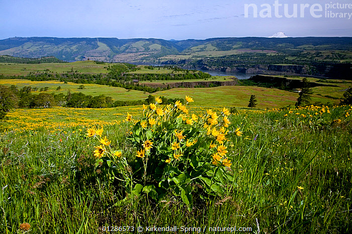Balsamroot (Balsamorhiza Sagittata) in bloom along the Tom McCall Trail located above the Columbia River at Rowena Plateau part of the Columbia River George National Scenic Area. Oregon, USA, May 2009  ,  FLOWERS,LANDSCAPES,NORTH AMERICA  ,  Kirkendall-Spring