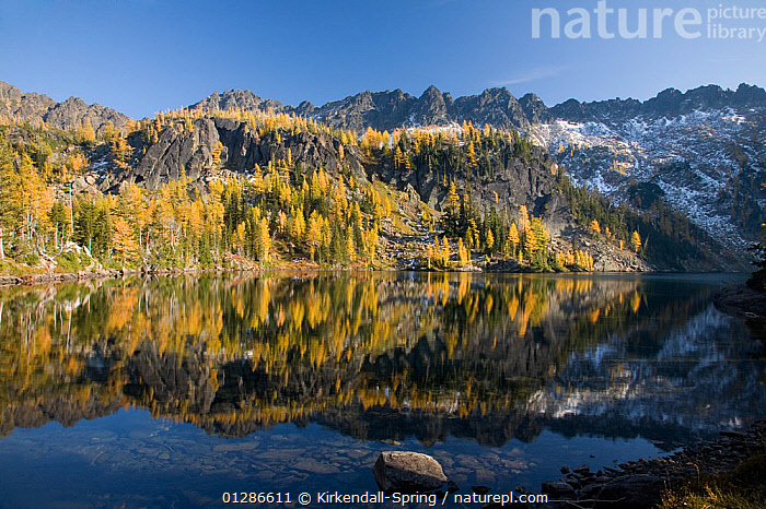 Larch trees (Larix) in autumn colour at Larch Lake in the Alpine Lakes Wilderness. Washington, USA, October 2009  ,  AUTUMN,CONIFERS,GYMNOSPERMS,LAKES,LANDSCAPES,MOUNTAINS,NORTH AMERICA,PINACEAE,PINES,PLANTS,REFLECTIONS,TREES,USA  ,  Kirkendall-Spring