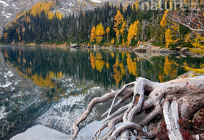 Larch trees (Larix) in autumn colour at Larch Lake in the Alpine Lakes Wilderness. Washington, USA, October 2009  ,  Alpine Lakes Wilderness,AUTUMN,CATALOGUE2,forest,GREEN,green colour,GYMNOSPERMS,Lake,LAKES,LANDSCAPES,Larch Lake,larch tree,Mountainside,nature,Nobody,outdoors,PEACEFUL,PINACEAE,PINES,PLANTS,reflection,REFLECTIONS,ROOTS,tranquil scene,TREES,USA,Washington,WATER,woodland,YELLOW,North America  ,  Kirkendall-Spring