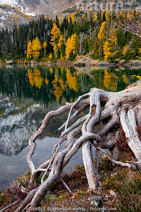 Larch trees (Larix) in autumn colour at Larch Lake in the Alpine Lakes Wilderness. Washington, USA, October 2009  ,  AUTUMN,CONIFERS,GYMNOSPERMS,LAKES,LANDSCAPES,NORTH AMERICA,PINACEAE,PINES,PLANTS,REFLECTIONS,TREES,VERTICAL  ,  Kirkendall-Spring