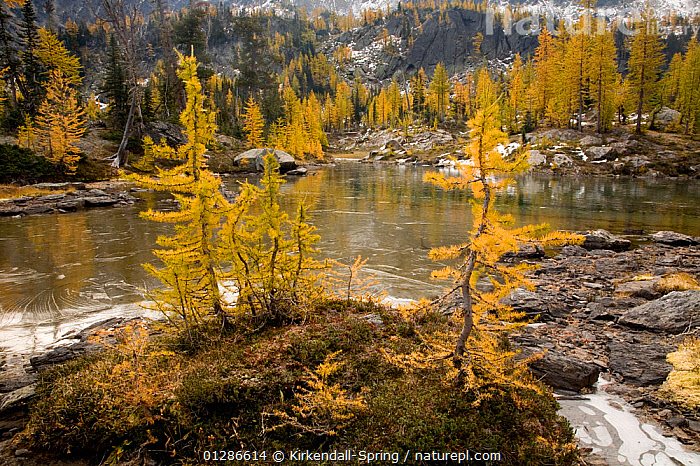 Larch trees (Larix) in autumn colour at Larch Lake in the Alpine Lakes Wilderness. Washington, USA, October 2009  ,  AUTUMN,CONIFERS,GYMNOSPERMS,LAKES,LANDSCAPES,MOUNTAINS,PINACEAE,PINES,PLANTS,TREES,YELLOW,North America  ,  Kirkendall-Spring