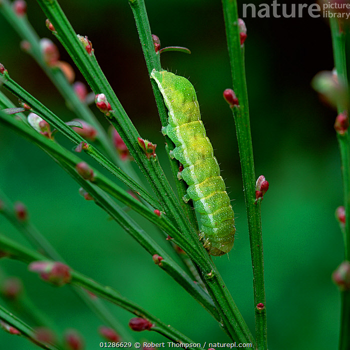 Caterpillar larva of Angle shades moth (Phlogophora meticulosa) on Broom plant, County Down, Northern Ireland, UK, April  ,  BUDS,EUROPE,GREEN,INSECTS,INVERTEBRATES,LEPIDOPTERA,MOTHS,NOCTUID MOTHS,UK,ULSTER,VERTICAL,United Kingdom  ,  Robert Thompson