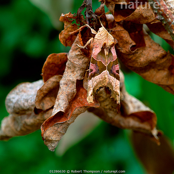 Angle shades moth (Phlogophora meticulosa) camouflaged on dessicating leaves in garden, County Down, Northern Ireland, UK, May  ,  CAMOUFLAGE,EUROPE,INSECTS,INVERTEBRATES,LEAVES,LEPIDOPTERA,MOTHS,NOCTUID MOTHS,UK,United Kingdom  ,  Robert Thompson