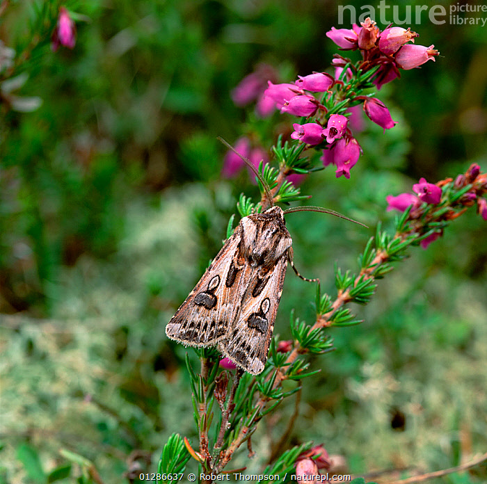 Archer's dart moth (Agrotis vestigialis) resting on bell heather, Murlough NNR, County Down, Norhtern Ireland, UK, June  ,  EUROPE,FLOWERS,INSECTS,INVERTEBRATES,LEPIDOPTERA,MOORLAND,MOTHS,NOCTUIDAE,UK,ULSTER,VERTICAL,United Kingdom  ,  Robert Thompson