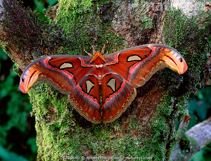 Giant atlas moth (Attacus atlas) from SE Asia  ,  ASIA,COLOURFUL,EMPEROR MOTHS,INSECTS,INVERTEBRATES,LARGE,LEPIDOPTERA,MOTHS,RED  ,  Robert Thompson