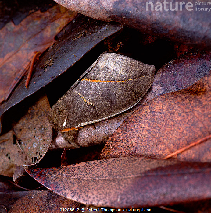 Saturniid moth (Automeris armina) wings closed, camouflaged amongst leaf litter in tropical forest, South America  ,  CAMOUFLAGE, INSECTS, INVERTEBRATES, LEAVES, LEPIDOPTERA, MOON-MOTHS, Saturniidae, SOUTH-AMERICA  ,  Robert Thompson
