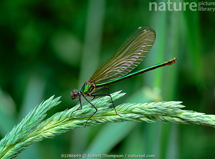 Banded demoiselle (Calopteryx splendens)  resting on grass, County Down, Northern Ireland, UK, June  ,  ARTHROPODS, DAMSELFLIES, EUROPE, INSECTS, INVERTEBRATES, ODONATA, PROFILE, UK,United Kingdom  ,  Robert Thompson