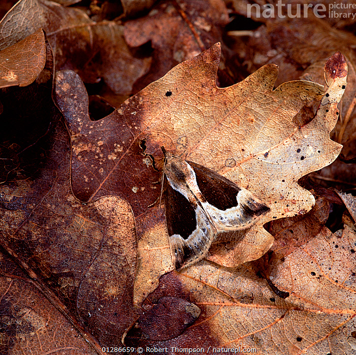 Beautiful snout moth (Hypena crassalis) camouflaged on fallen leaves, Rehaghy Mountain, County Tyrone, Northern Ireland, UK, July  ,  animal pattern, AUTUMN, BROWN, CAMOUFLAGE, CATALOGUE2, close up, CLOSE-UPS, Country Tyrone, EUROPE, fallen leaves, forest floor, INSECTS, INVERTEBRATES, IRELAND, leaf, LEPIDOPTERA, nature, Nobody, Noctuidae, NOCTUID-MOTHS, northern ireland, one animal, outdoors, Rehaghy Mountain, symmetry, UK, ULSTER,United Kingdom  ,  Robert Thompson