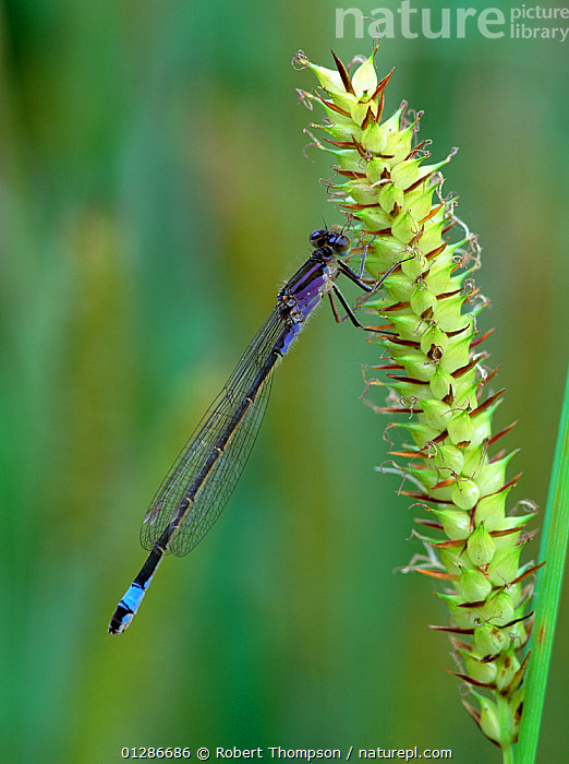 Blue-tailed damselfly (Ischnura elegans violacea) Selshion Moss, County Armagh, Northern Ireland, UK, June  ,  ARTHROPODS, DAMSELFLIES, EUROPE, INSECTS, INVERTEBRATES, ODONATA, UK, ULSTER, VERTICAL,United Kingdom  ,  Robert Thompson