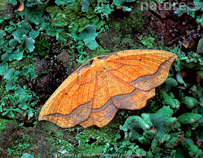 Bordered beauty moth (Epione repandaria) on lichen covered Alder branch,  Lackan Bog, County Down, Northern Ireland, UK, August  ,  EUROPE,INSECTS,INVERTEBRATES,LEPIDOPTERA,LICHENS,LOOPER MOTHS,MOTHS,ORANGE,UK,ULNUS,ULSTER,Plants,United Kingdom  ,  Robert Thompson