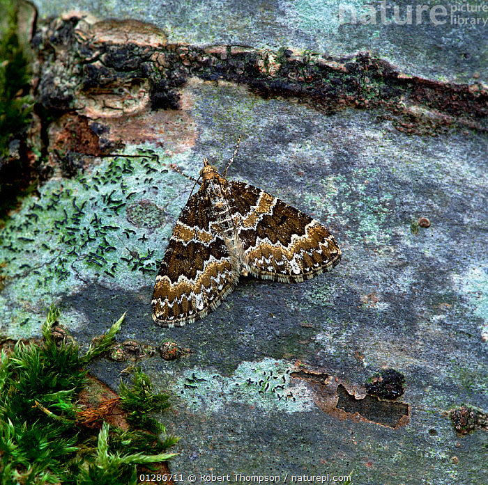 Broken-barred carpet moth (Electrophaes corylata)  at rest on stone, Brackagh Moss NNR, County Armagh, Northern Ireland, UK, May  ,  CAMOUFLAGE,EUROPE,GEOMETRIDAE,INSECTS,INVERTEBRATES,LEPIDOPTERA,LOOPER MOTHS,UK,ULSTER,United Kingdom  ,  Robert Thompson