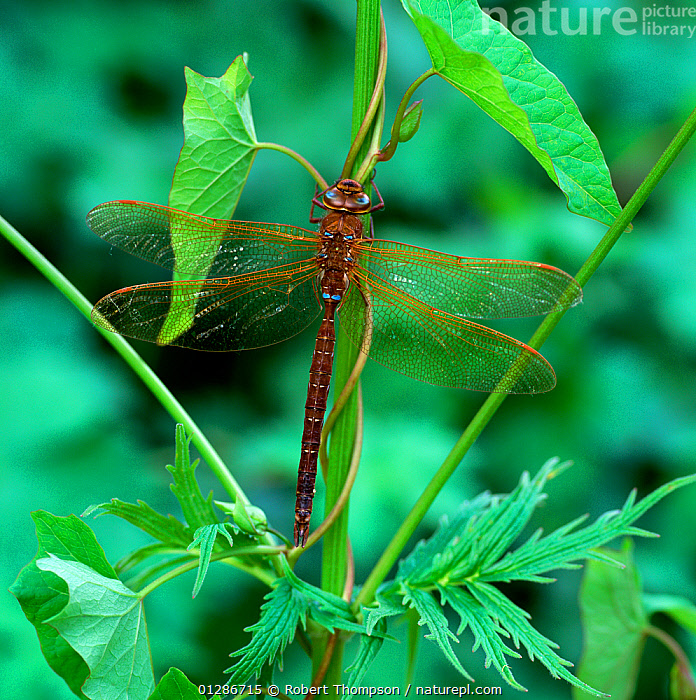 Brown hawker dragonfly (Aeshna grandis) male resting on Bindweed, Brackagh Moss NNR, County Down, Northern Ireland, UK, July  ,  ARTHROPODS,CLIMBERS,DRAGONFLIES,INSECTS,INVERTEBRATES,MALES,ODONATA,PLANTS,UK,ULSTER,VERTICAL,Europe,United Kingdom  ,  Robert Thompson