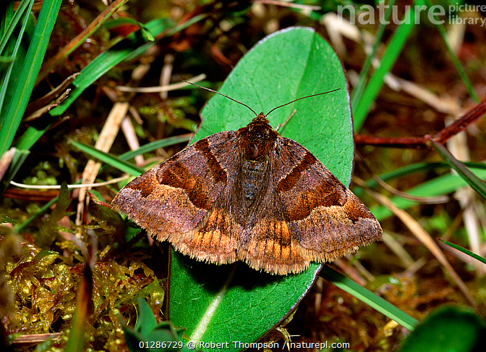 Burnet companion moth (Euclidia glyphica) resting with wings open on leaf, Monawilkin ASSI, County Fermanagh, Northern Ireland, UK, June  ,  EUROPE,INSECTS,INVERTEBRATES,LEPIDOPTERA,MOTHS,NOCTUID MOTHS,NORTHERN IRELAND,UK,ULSTER,United Kingdom  ,  Robert Thompson