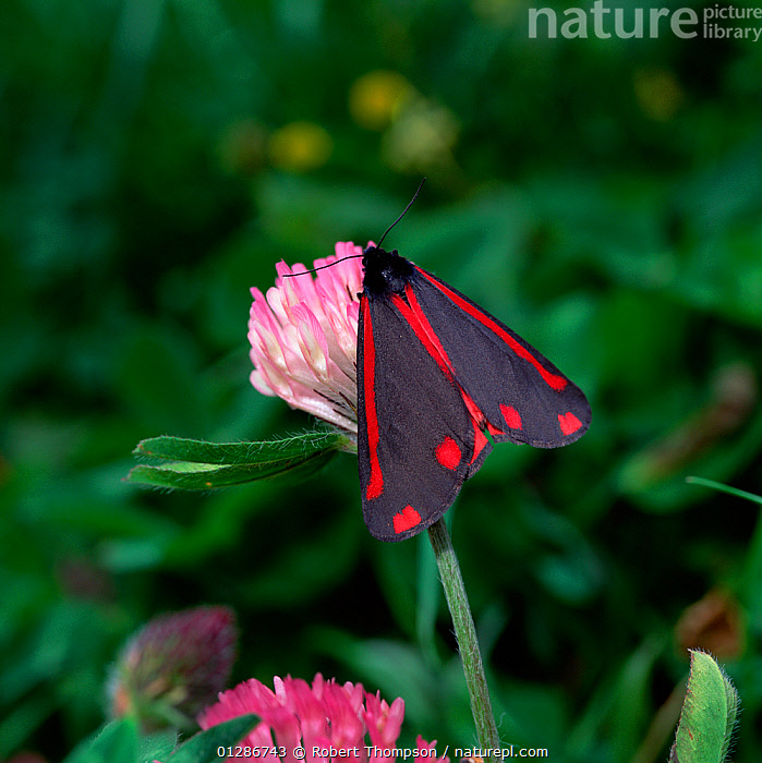 Cinnabar moth (Tyria jacobaeae) resting on Clover flower, Murlough NNR, County Down, Northern Ireland, UK  ,  COLOURFUL, EUROPE, FLOWERS, INSECTS, INVERTEBRATES, LEPIDOPTERA, MOTHS, NOCTUID-MOTHS, northern-ireland, PINK, RED, UK, ULSTER, VERTICAL,United Kingdom  ,  Robert Thompson