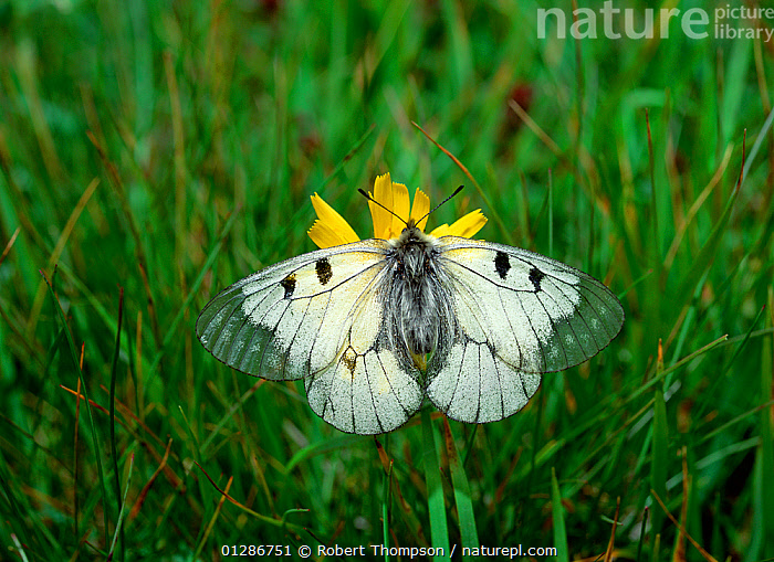 Clouded apollo butterfly (Parnassius mnemosyne) on flower in meadow, Selden, Kandersteg, Switzerland, June  ,  ALPINE,ALPS,ARTHROPODS,BUTTERFLIES,EUROPE,FLOWERS,GRASS,INSECTS,INVERTEBRATES,LEPIDOPTERA,MEADOWLAND,WHITE,Plants,Grassland  ,  Robert Thompson