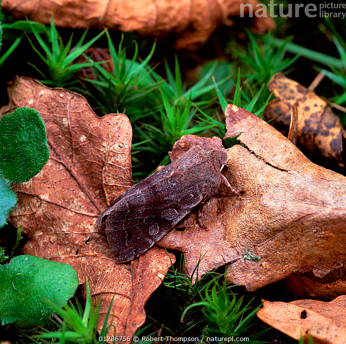 Clouded drab moth (Orthosia incerta) on fallen leaf, Rostrevor Oakwood NNR, County Down, Northern Ireland, UK, March  ,  EUROPE, INSECTS, INVERTEBRATES, LEAVES, LEPIDOPTERA, Noctuidae, NOCTUID-MOTHS, northern-ireland, UK, ULSTER,United Kingdom  ,  Robert Thompson