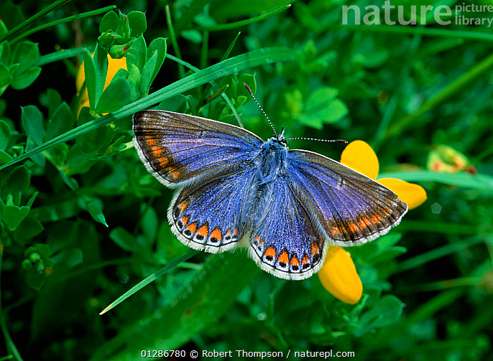 Common blue butterfly (Polyommatus icarus) Thompson's Quarry, County Armagh, Northern Ireland, UK, June  ,  ARTHROPODS,BUTTERFLIES,EUROPE,INSECTS,INVERTEBRATES,LEPIDOPTERA,NORTHERN IRELAND,UK,ULSTER,United Kingdom  ,  Robert Thompson
