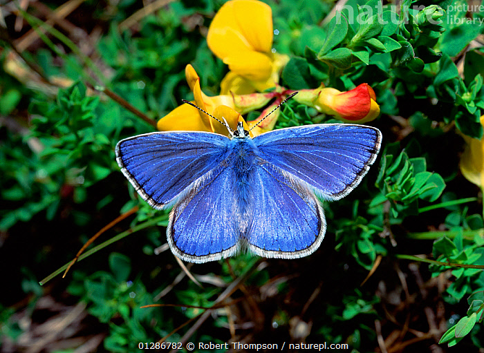Common blue butterfly (Polyommatus icarus) on Vetch flower, Thompson's Quarry, County Armagh, Northern Ireland, UK  ,  ARTHROPODS,BLUE,BUTTERFLIES,EUROPE,FLOWERS,INSECTS,INVERTEBRATES,LEPIDOPTERA,NORTHERN IRELAND,UK,ULSTER,YELLOW,United Kingdom  ,  Robert Thompson