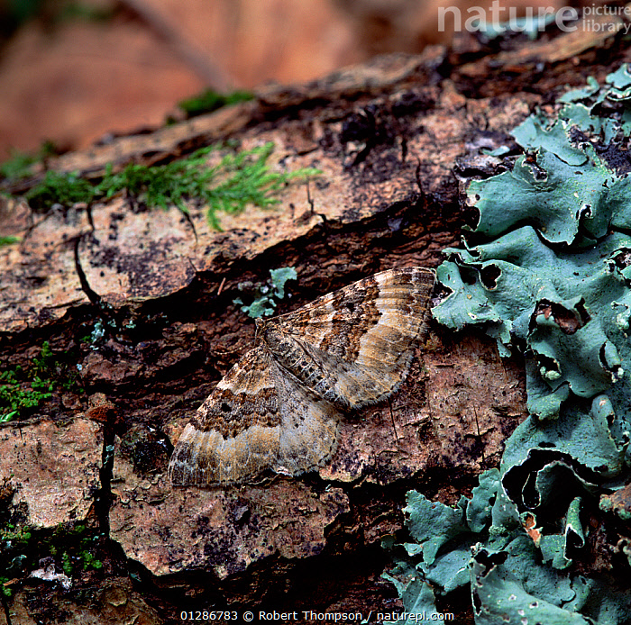 Common carpet moth (Epirrohoe alternata) camouflaged on rotting tree trunk, Killarney National Park, County Kerry, Ireland, July  ,  CAMOUFLAGE,INSECTS,INVERTEBRATES,LEPIDOPTERA,LICHEN,LICHENS,LOOPER MOTHS,Europe,Plants  ,  Robert Thompson