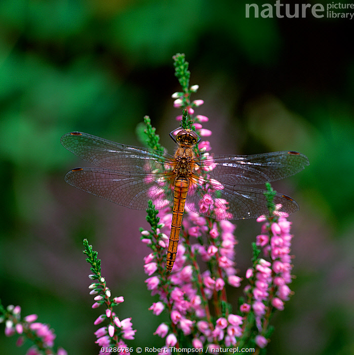 Common darter dragonfly (Sympetrum striolatum) on heather flowers, Upper Lake Glendalough, County Wicklow, Ireland, August  ,  ARTHROPODS,DRAGONFLIES,EIRE,EUROPE,FLOWERS,INSECTS,INVERTEBRATES,ODONATA,PINK,VERTICAL  ,  Robert Thompson