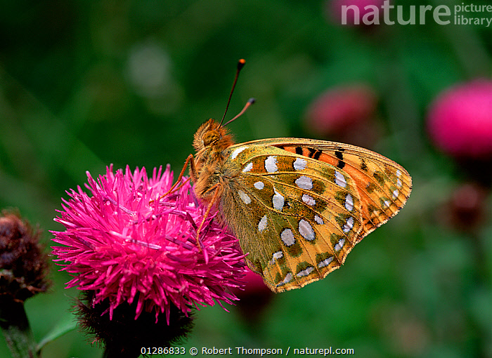 Dark green fritillary butterfly (Argynnis aglaja) on flower, Ballymaclary NNR, County Londonderry, Northern Ireland, UK, July  ,  ARTHROPODS,BUTTERFLIES,EUROPE,FLOWERS,INSECTS,INVERTEBRATES,LEPIDOPTERA,MESOACIDALIA AGLAIA,NORTHERN IRELAND,RED,UK,ULSTER,United Kingdom  ,  Robert Thompson