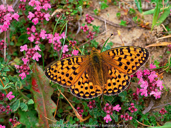 Dark green fritillary butterfly (Argynnis aglaja) on flowers, wings closed, Murlough NNR, County Down, Northern Ireland, UK  ,  ARTHROPODS,BUTTERFLIES,EUROPE,FLOWERS,HIGH ANGLE SHOT,INSECTS,INVERTEBRATES,LEPIDOPTERA,MESOACIDALIA AGLAIA,NORTHERN IRELAND,UK,ULSTER,United Kingdom  ,  Robert Thompson