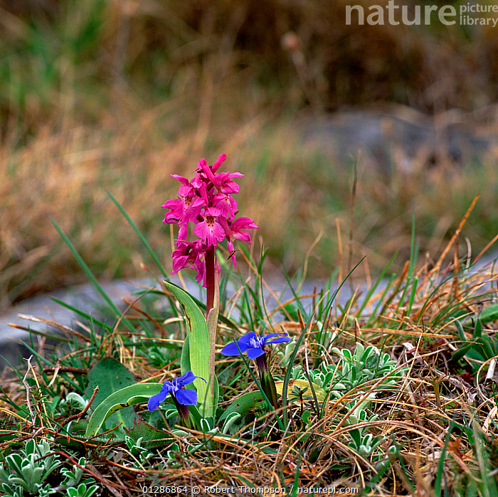 Early purple orchid (Orchis mascula) and Spring gentian (Gentiana verna), Lough Bunny, Burren National Park, County Clare, Ireland  ,  EIRE,EUROPE,FLOWERS,IRELAND,MIXED SPECIES,MONOCOTYLEDONS,ORCHIDACEAE,ORCHIDS,PLANTS,RED,VERTICAL  ,  Robert Thompson