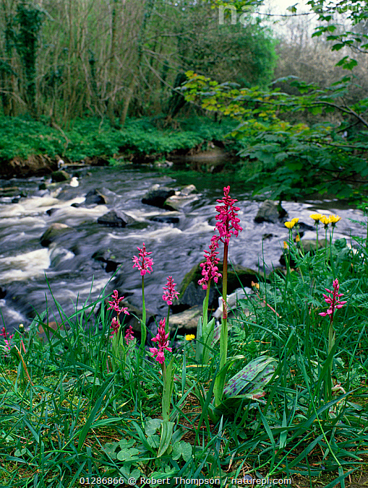 Early purple orchids (Orchis mascula) in flower beside river, Clare Glen, Tandragee, County Armagh, Northern Ireland, UK, May  ,  EUROPE,FLOWERS,GROUPS,HABITAT,LANDSCAPES,MONOCOTYLEDONS,NORTHERN IRELAND,ORCHIDACEAE,ORCHIDS,PLANTS,RIVERS,STREAMS,UK,ULSTER,VERTICAL,United Kingdom  ,  Robert Thompson