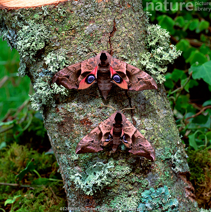 Eyed hawkmoth (Smerinthus ocellatus) two adults on tree trunk, Annagarriff Wood NNR, Peatlands, County Armagh, Northern Ireland, UK, June  ,  EUROPE, EYES, HAWKMOTHS, INSECTS, INVERTEBRATES, LEPIDOPTERA, MOTHS, northern-ireland, two, UK, ULSTER, VERTICAL,United Kingdom  ,  Robert Thompson