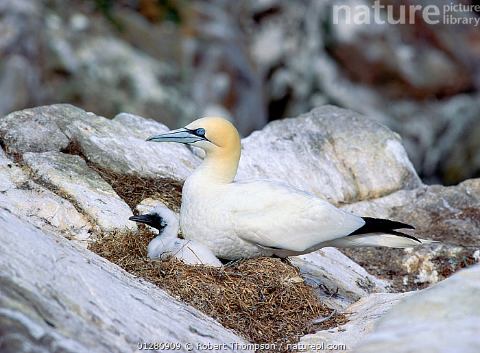 Gannet (Morus bassanus) with chick at nest, Saltee Islands, County Wexford, Ireland, June  ,  bassana, BIRDS, CHICKS, COASTS, EIRE, EUROPE, FAMILIES, GANNETS, IRELAND, MOTHER-BABY, NESTS, SEABIRDS, VERTEBRATES  ,  Robert Thompson