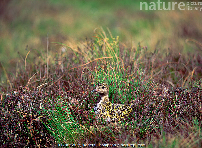 Golden plover (Pluvialis aprica) on nest on ground,  Cuilcagh Mountain, County Fermanagh, Northern Ireland, UK, May  ,  BIRDS,CAMOUFLAGE,EUROPE,MOORLAND,NESTS,NORTHERN IRELAND,PLOVERS,UK,ULSTER,VERTEBRATES,WADERS,United Kingdom  ,  Robert Thompson