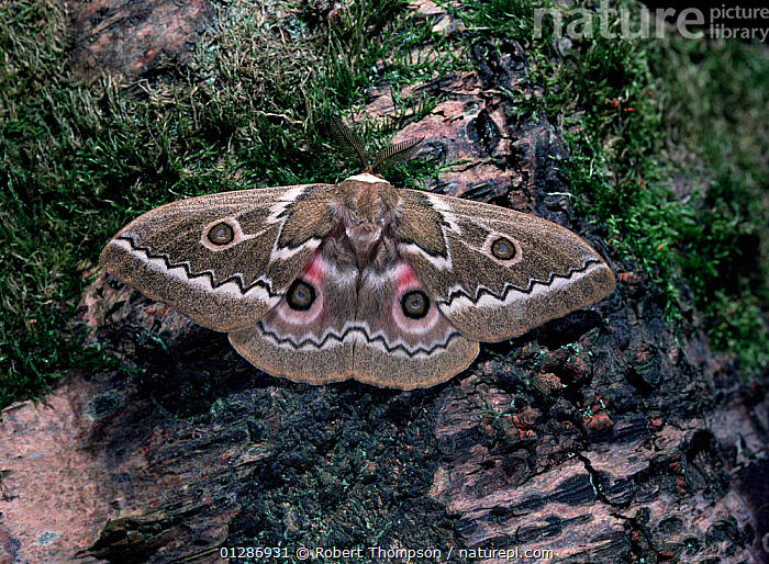 Zigzag emperor moth (Gonimbrasia tyrrhea)  male, resting on tree trunk, South Africa, June  ,  EMPEROR-MOTHS, EYES, eye-spots, INSECTS, INVERTEBRATES, LEPIDOPTERA, MOTHS, PATTERNS, SOUTHERN-AFRICA  ,  Robert Thompson