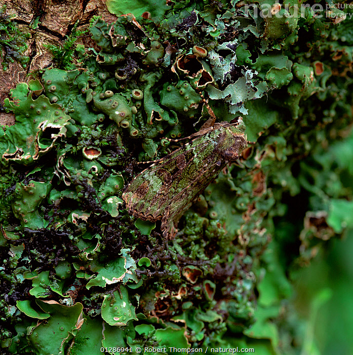 Green arches moth (Anaplectoides prasina) resting, camouflaged on branch, Castlewellan Forest Park, County Down, Northern Ireland, UK, July  ,  CAMOUFLAGE,EUROPE,INSECTS,INVERTEBRATES,LEPIDOPTERA,LICHEN,LICHENS,NOCTUID MOTHS,NORTHERN IRELAND,UK,ULSTER,Plants,United Kingdom  ,  Robert Thompson