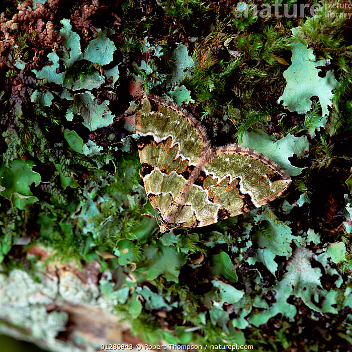 Green carpet moth (Colostygia pectinataria) Brackagh Moss NNR, County Down, Northern Ireland, UK, June  ,  EUROPE,INSECTS,INVERTEBRATES,LEPIDOPTERA,LICHEN,LICHENS,LOOPER MOTHS,MOTHS,NORTHERN IRELAND,UK,ULSTER,Plants,United Kingdom  ,  Robert Thompson