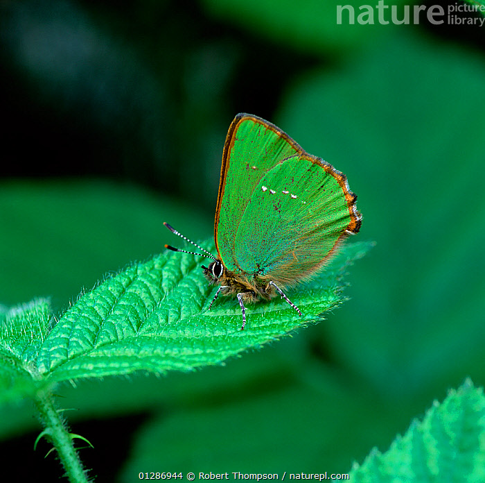 Green hairstreak butterfly (Callophrys rubi) resting on green bramble leaf, Montiaghs Moss NNR, County Antrim, Northern Ireland, UK, April  ,  ARTHROPODS,BRAMBLE,BUTTERFLIES,CAMOUFLAGE,EUROPE,GREEN,INSECTS,INVERTEBRATES,LEPIDOPTERA,NORTHERN IRELAND,UK,ULSTER,United Kingdom  ,  Robert Thompson