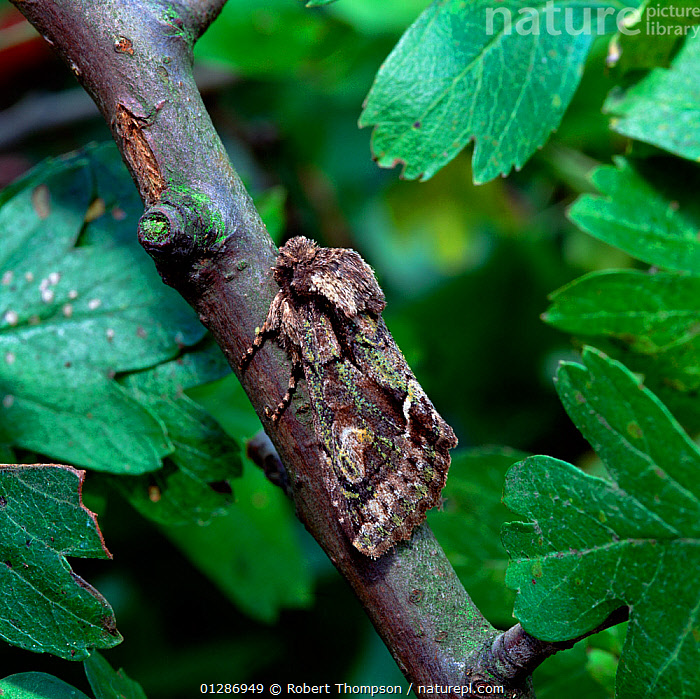 Green-brindled crescent moth (Allophyes oxyacanthae) Castlewellan Forest Park, County Down, Northern Ireland, UK, September  ,  CAMOUFLAGE,EUROPE,INSECTS,INVERTEBRATES,LEPIDOPTERA,NOCTUID MOTHS,NORTHERN IRELAND,UK,ULSTER,VERTICAL,United Kingdom  ,  Robert Thompson