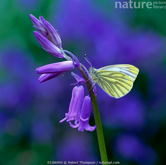 Green-veined white butterfly (Pieris napi) resting on Bluebell flower, Clare Glen, County Armagh, Northern Ireland, UK, May  ,  ARTHROPODS,BLUE,BLUEBELLS,BUTTERFLIES,EUROPE,FLOWERS,INSECTS,INVERTEBRATES,LEPIDOPTERA,NORTHERN IRELAND,PURITY,SPRING,UK,ULSTER,VERTICAL,United Kingdom  ,  Robert Thompson