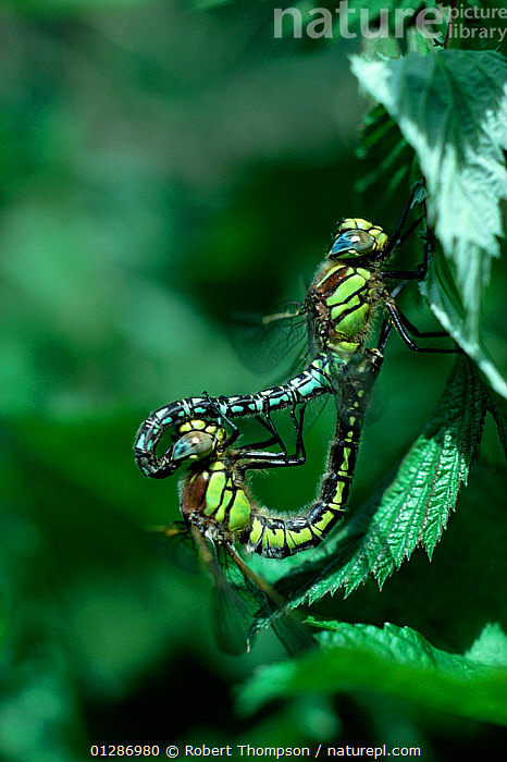 Hairy dragonfly (Brachytron pratense) adults mating, Brackagh Moss NNR, County Down, Northern Ireland, UK, June  ,  ARTHROPODS,COPULATION,DRAGONFLIES,EUROPE,INSECTS,INVERTEBRATES,MALE FEMALE PAIR,MATING BEHAVIOUR,NORTHERN IRELAND,ODONATA,UK,ULSTER,Reproduction,United Kingdom  ,  Robert Thompson