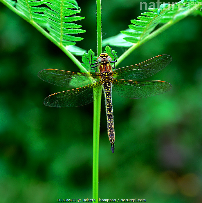 Hairy dragonfly (Brachytron pratense) adult, Brackagh Moss NNR, County Down, Northern Ireland, UK, June  ,  ARTHROPODS,DRAGONFLIES,EUROPE,FERNS,INSECTS,INVERTEBRATES,NORTHERN IRELAND,ODONATA,UK,ULSTER,VERTICAL,Plants,United Kingdom  ,  Robert Thompson