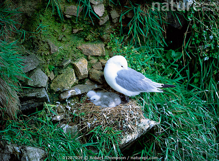 Kittiwake (Rissa tridactyla) at nest with two chicks, Saltee Islands, County Wexford, Ireland, June  ,  BIRDS,CHICKS,CLIFFS,EUROPE,FAMILIES,GULLS,IRELAND,NESTS,SEABIRDS,VERTEBRATES,VERTICAL,Geology  ,  Robert Thompson