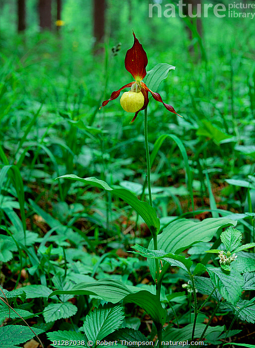 Yellow lady's slipper (Cypripedium calceolus)  flowering in woodland, UK  ,  EUROPE,FLOWERS,MONOCOTYLEDONS,ORCHIDACEAE,orchids,PLANTS,UK,VERTICAL,WOODLANDS,United Kingdom  ,  Robert Thompson