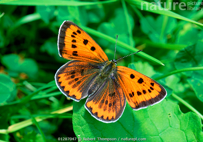 Large copper butterfly (Lycaena dispar)  Neuf Alschcinne Reserve, Camargue, France, June  ,  ARTHROPODS,BUTTERFLIES,EUROPE,FRANCE,INSECTS,INVERTEBRATES,LEPIDOPTERA,ORANGE  ,  Robert Thompson