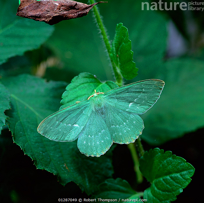 Large emerald moth (Geometra papilionaria) camouflaged on leaf, Lackan Bog, County Down, Northern Ireland, UK, July  ,  CAMOUFLAGE,EUROPE,GREEN,INSECTS,INVERTEBRATES,LEPIDOPTERA,LOOPER MOTHS,MOTHS,northern ireland,UK,ULSTER,United Kingdom  ,  Robert Thompson
