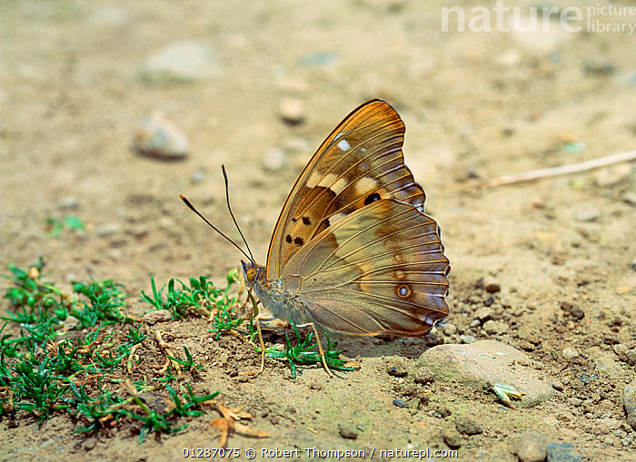 Lesser purple emperor butterfly (Apatura ilia) camouflaged on ground with wings closed, near Couiza, France, July  ,  ARTHROPODS,BUTTERFLIES,CAMOUFLAGE,EUROPE,FRANCE,INSECTS,INVERTEBRATES,LEPIDOPTERA  ,  Robert Thompson